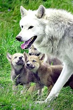 Dad wolf with his pups