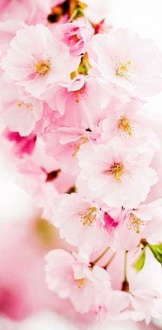 Did you know that the Apple Blossom is Michigan's state flower?  I have to admit that I didn't.  But how wonderful!