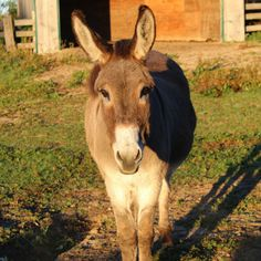 Sponsoring a donkey, mule, or hinny here at the Donkey Sanctuary of Canada will help to provide support for animals here at the Sanctuary. Funny Donkey Pictures, A Donkey, Cattle Farming, Farms Living, Early Fall, Goats, Cow, Horses, Animals
