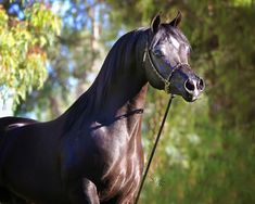 Offering a limited number of breedings for the 2013 breeding season to this beautiful and exotic son of True Colours. Egyptian Arabian Horses, Beautiful Arabian Horses, Majestic Horse, Horse Pictures, Pictures To Draw, Pur Sang, Arabian Stallions, Arabian Beauty, Horse Face