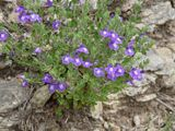 Mr. Smarty Plants - Texas natives that are shade tolerant for Austin, TX - scullcaps