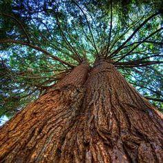 Beautiful Western Red Cedar tree!