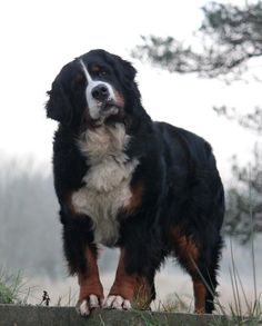 Who's a pretty dog? looking like my pretty ole girl - tho this could be a male Beautiful Dogs, Animals Beautiful, Cute Animals, Chien Mira, I Love Dogs, Cute Dogs, Doggies, Dogs And Puppies, Bernese Puppy