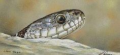 Google Image Result for http://www.natureartists.com/art/resized/1233_water_snake_scan.jpg