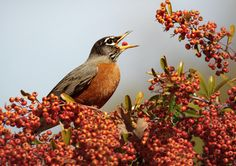 A very familiar bird over most of North America, running and hopping on lawns with upright stance, often nesting on porches and windowsills. The Robin's rich caroling is among the earliest bird songs heard at dawn in spring and summer, often beginning just before first light. In fall and winter, robins may gather by the hundreds in roaming flocks, concentrating at sources of food.