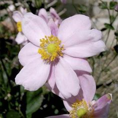 Grape Leaved Anemone: Anemone vitifolia 'Robustissima')    Perennial; blooms in late summer and early autumn; clump forming with branches bearing clusters of 10 or more pale pink flowers with oval, green foliage.    Grows up to 5 feet tall and 24 inches wide in zones 4 to 8
