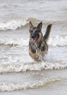 German Shepherd loving the water