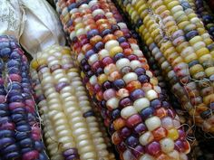 colorful fall corn by srqpix, via Flickr