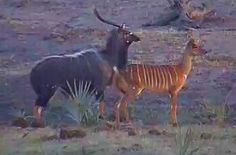 Nyala male and female on Tembe at Africam.com