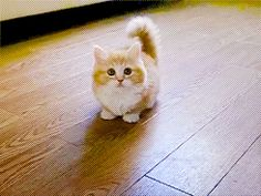 Munchkin kitty. Oh my. The cuteness is overwhelming.