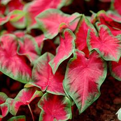 Add bold color to the summer garden with the Caladium Frieda Hemple. The large, dark-red centers are offset by green borders. This variety thrives in both sun and shade and is perfect for hanging baskets or containers. Colorful Plants, Colorful Garden, Tropical Plants, Spring Flowering Bulbs, Spring Plants, Summer Blooming Flowers, Spring Flowers, Tuberous Begonia, American Meadows