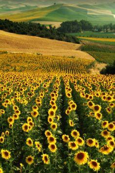 andyouwhisperyouloveme: Sunflower fields in...
