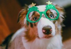Did you say only TWO days until Christmas??  ---------------------------------------------- This is my entry for #ChristmasSpiritContest hosted by @blueeyeskye @thedoxieteers @graywoof @lexiesheartbeat  ----------------------------------------------------This is my entry for #barkthehalls2 hosted by @hollyupnorth @hootandco @miniaussie_bryn -------------------------------------------- by oli_the_aussie_