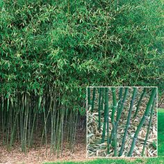 Hardy Bamboo is on my 2012 planting list!