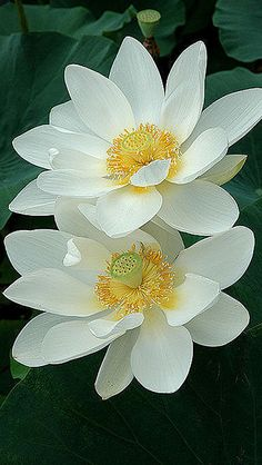 White-Lotus-iphone-5-wallpaper-wbix by glbtmatch, via Flickr