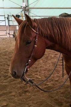 FAST PINE VEGAS - 2014 AQHA CHESTNUT MARE FOR SALE: 15hh (Hollywood SAN Vegas x Fastpine Feathers). Good mover, easy to ride, great mind and a year professional training with Daryl Cartier. #northernhorse #horsesforsale