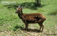 Philippine Spotted Deer/Visayan Spotted Deer
