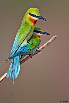 Blue-tailed bee-eaters breed in SE Asia and are strongly migratory, moving to peninsular India.