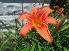 Day Lily in full bloom   #loveisfree
