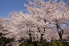 The cherry blossoms are in full bloom. (Sumida Park, Tokyo)  Love cherry blossoms.