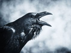 Raven: Bird, Myth, Legend with Mary Beth Kaeser and Gerri Griswold – White Memorial Conservation Center Raven Pictures, Vikings, Gif Terror, Death Aesthetic, Raven Bird, Beautiful Dark Art, Crows Ravens, Tattoo Project, Animal Totems
