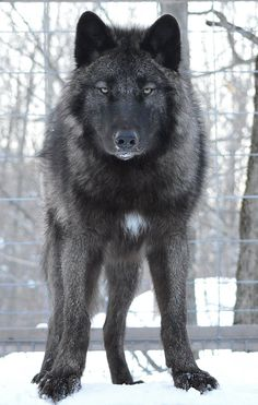 Beautiful Wolves : yourdogisnotawolf: Athens, a very high content. Wolf Images, Wolf Photos, Wolf Pictures, Beautiful Wolves, Animals Beautiful, Cute Animals, Wild Animals, Baby Animals, Wolf Love