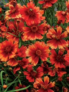 Coreopsis Desert Coral. A Desert Sunset On A Stem! Exquisite Peach And  Coral Flowers