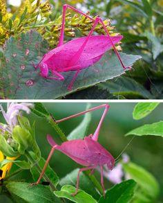 #Pink Katydid