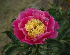 """'Cheese Country' peony. ink, japanese, lightly fragrant, midseason, 28"""" tall, laciflora. A double row of bright, warm pink petals surround a mound of yellow confetti petaloids making a bright, cheery spot in the garden."""