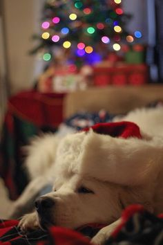 Great Pyrenees waiting for Santa, I want to do this picture with Leo!