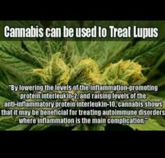 Cannabis and lupus
