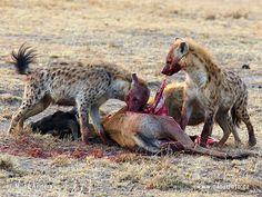 hyena-skvrnita-11x_cro2.jpg (600×450)
