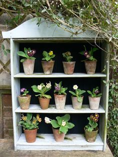 Auricula theatre - love the tradition of displaying these in a little theatre so quirky.