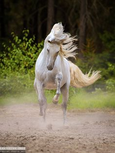 Beautiful gray horse, almost white