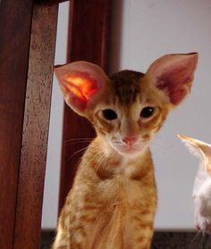 красные и кремовые ориенталы | SiaOriMania — ориентальные, сиамские кошки — продажа котят. Сиаоримания.