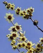 Calicanto - Chimonanthus praecox - Calycanthus praecox