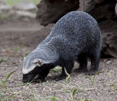 Greater Grison (Galictis vittata) found in Central and South America. Related to badgers.