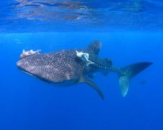 Whale shark at Cocos Island, Costa Rica