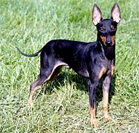 Manchester Terrier (Toy). So cute I'm in love with these dogs!