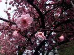 6 Places to See Cherry Blossoms and Other Spring Blooms Around Seattle - ParentMap