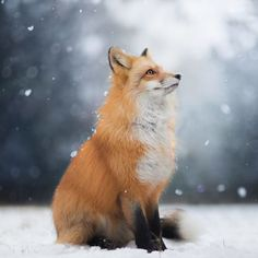 Photographer Captures the Enchanting Spirit of a Photogenic Fox in the Woods