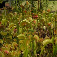 Как прокормить такую ораву? Фото: FacebookLeoš Kohoutek Not too many plants... #ульяновск #ulsk#carnivorousplants #carnivorousplant #carnivorous #venusflytrap #plantlife #flytrap #carnivoroustagram #dionaeamuscipula #plantoftheday #carnivorousplantsofinstagram #natureporn #dionaea #naturephotography #botanical #flower #plantporn #plants #nature