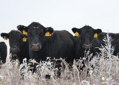 Cows Winter