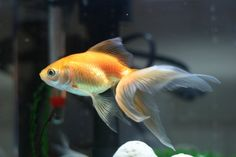 Fan Tail Goldfish