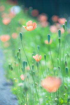 delicate peach and green. Wild Flowers, Beautiful Flowers, Spring Flowers, Bokeh Photography, Peach And Green, Flower Wallpaper, Mother Nature, Planting Flowers, Pastel Floral