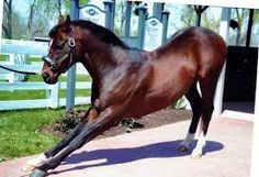 Hall of Famer, Cigar at 19, taking a bow.  Cigar was ranked #18 on the Blood-Horse ranking of the top 100 U.S. Thoroughbred Champions of the 20th Century.