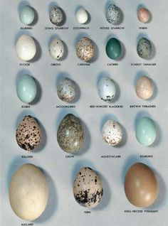 different birds eggs - Pesquisa Google