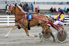 Finnhorse gelding Muusan Salama Salama, Harness Racing, Mane N Tail, Horse Carriage, Trotter, Draft Horses, Horse Breeds, Maine Coon, So Little Time