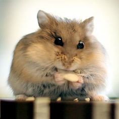 Chicken is a 3-month-old Russian dwarf hamster. 2013 finalists: Canada's Cutest Pets Contest - Slide 9 - Canadian Living