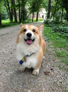 Why do we love Corgis? Look at that face. Z
